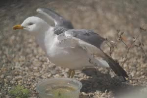 Watch lesbian seagull GIF on Gfycat. Discover more related GIFs on Gfycat