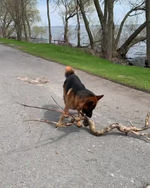 dogsarefamily, dogsofinstagram, dogvideo, fetch, forevergermansheps, germanshepherd, germanshepherdsofig, germanshepherdsofinstagram, gsd, gsdofinstagram, gsds, gsdvideo, heisenberg, instagsd, mygsd, Found a rather awkward stick today but he still figured out how to carry it around!! 🌲❤️🐶 - - - - - GIFs