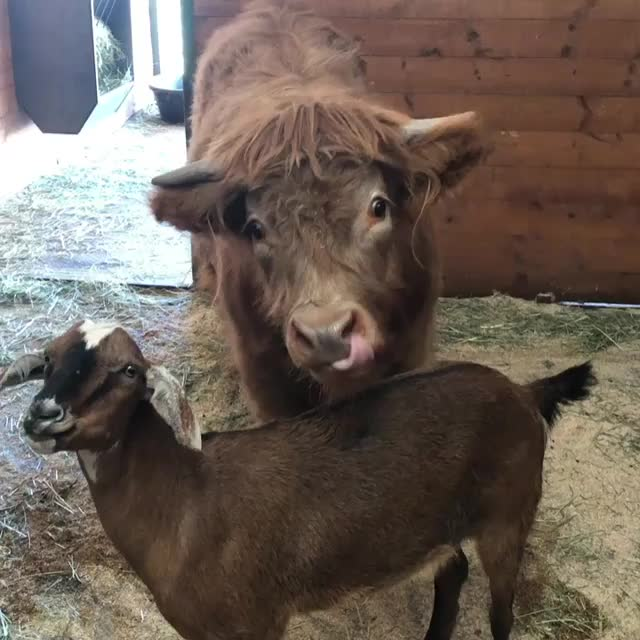 Video by buckleythehighlandcow GIFs