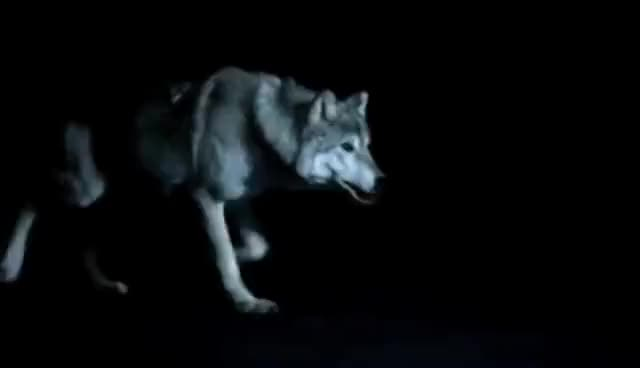 Watch this trending GIF on Gfycat. Discover more wolf GIFs on Gfycat
