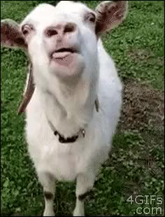 Watch and share Sheep Sound GIFs on Gfycat