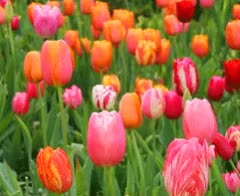 Watch and share Spring GIFs and Tulips GIFs by ninisjgufi on Gfycat