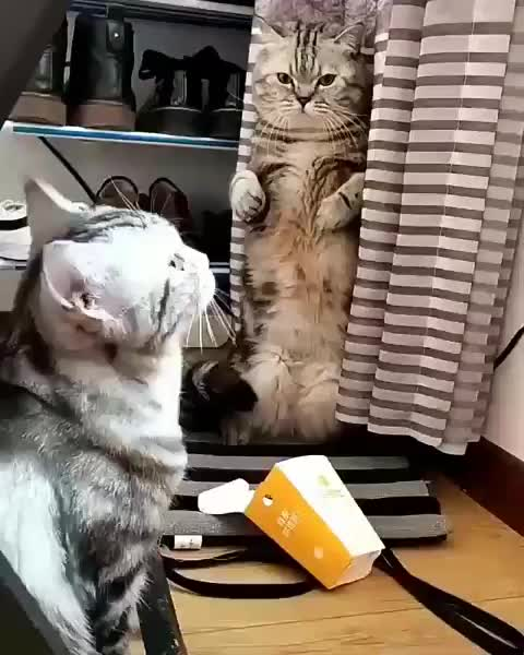 busted, cat, cats, funny, Don't... move.... a muscle.... GIFs
