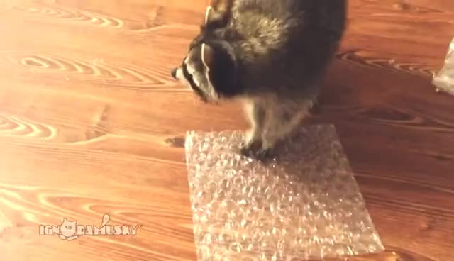 Watch Raccoon Popping Bubble Wrap / Невозможно остановиться GIF on Gfycat. Discover more raccoon GIFs on Gfycat