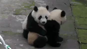 Watch and share Pandas Being Cute GIFs on Gfycat