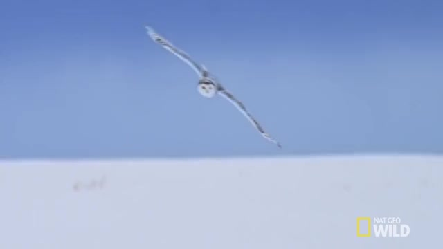 Watch and share Snowy Owl Catches A Vole GIFs by Pardusco on Gfycat