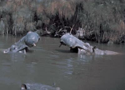 animals, hippo, hippopotamus, Hippo GIFs