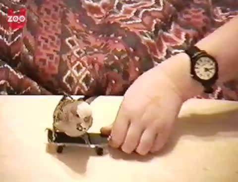budgie, skateboard, Skateboarding Budgie GIFs