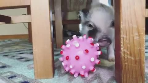 Caitlin Cimini, Rancho Relaxo Animal Sanctuary, friendsnotfood, govegan, livekindly, rescue, sanctuary, Pistachio discovers his first toy at Rancho Relaxo Animal Sanctuary GIFs