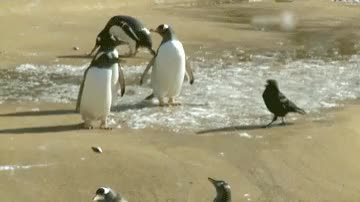 Watch and share Penguins GIFs and Crow GIFs on Gfycat