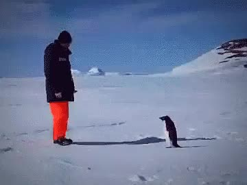 Watch Penguin GIF on Gfycat. Discover more related GIFs on Gfycat
