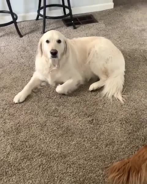 dog, ᴡᴀᴛsᴏɴ ᴀɴᴅ ᴋɪᴋᴏ, The way he apologizes is so sweet. Can't stay mad at that big fluff for to long. - As you may know kiko have been having some health issues  GIFs