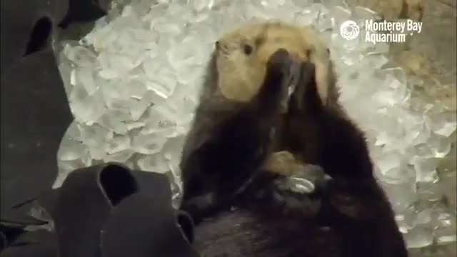Watch and share Sea Otter Giving Themselves Brain Freeze GIFs by tothetenthpower on Gfycat