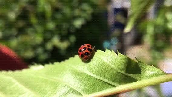 Watch Ladybird slow motion take off. GIF on Gfycat. Discover more naturegifs GIFs on Gfycat