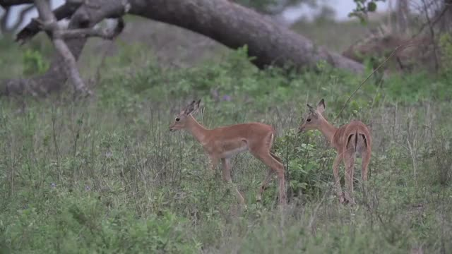 Watch Impala Lambs GIF by @londolozi on Gfycat. Discover more related GIFs on Gfycat