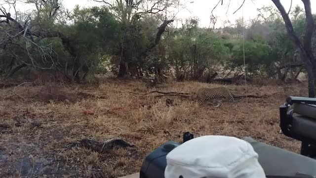 Watch and share Leopard Hoist GIFs by Londolozi Game Reserve on Gfycat