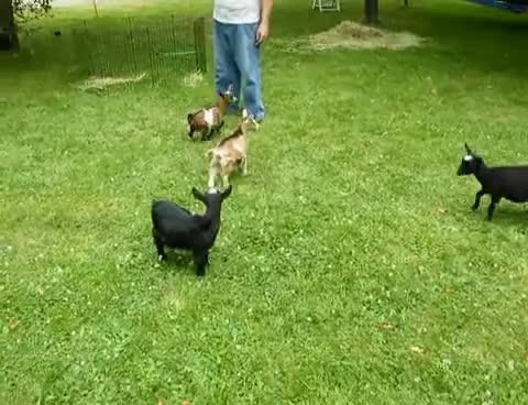 goats, goats GIFs