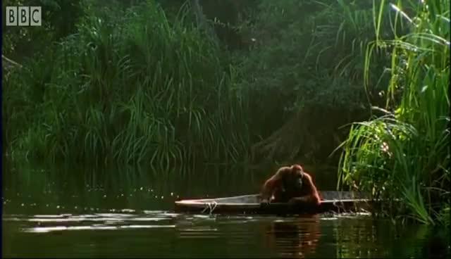 orangutan, diy orangutan GIFs