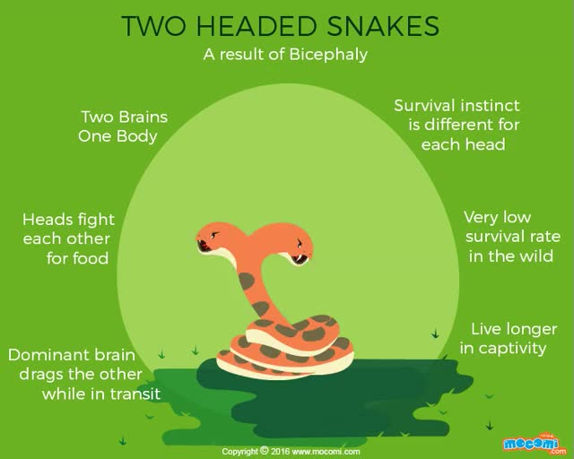 Watch and share Two Headed Snakes Facts - Gifographic For Kids   Mocomi GIFs on Gfycat
