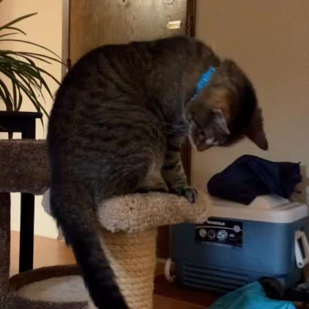 awwgifs, Audrey chases her tail GIFs