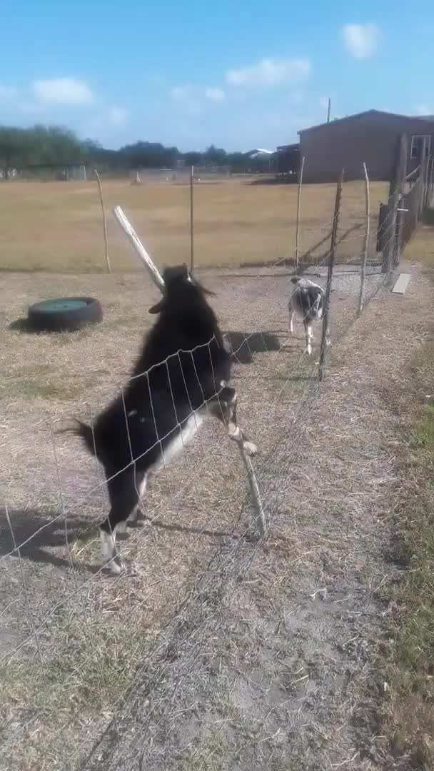 Watch and share Goat GIFs by texasrigger on Gfycat