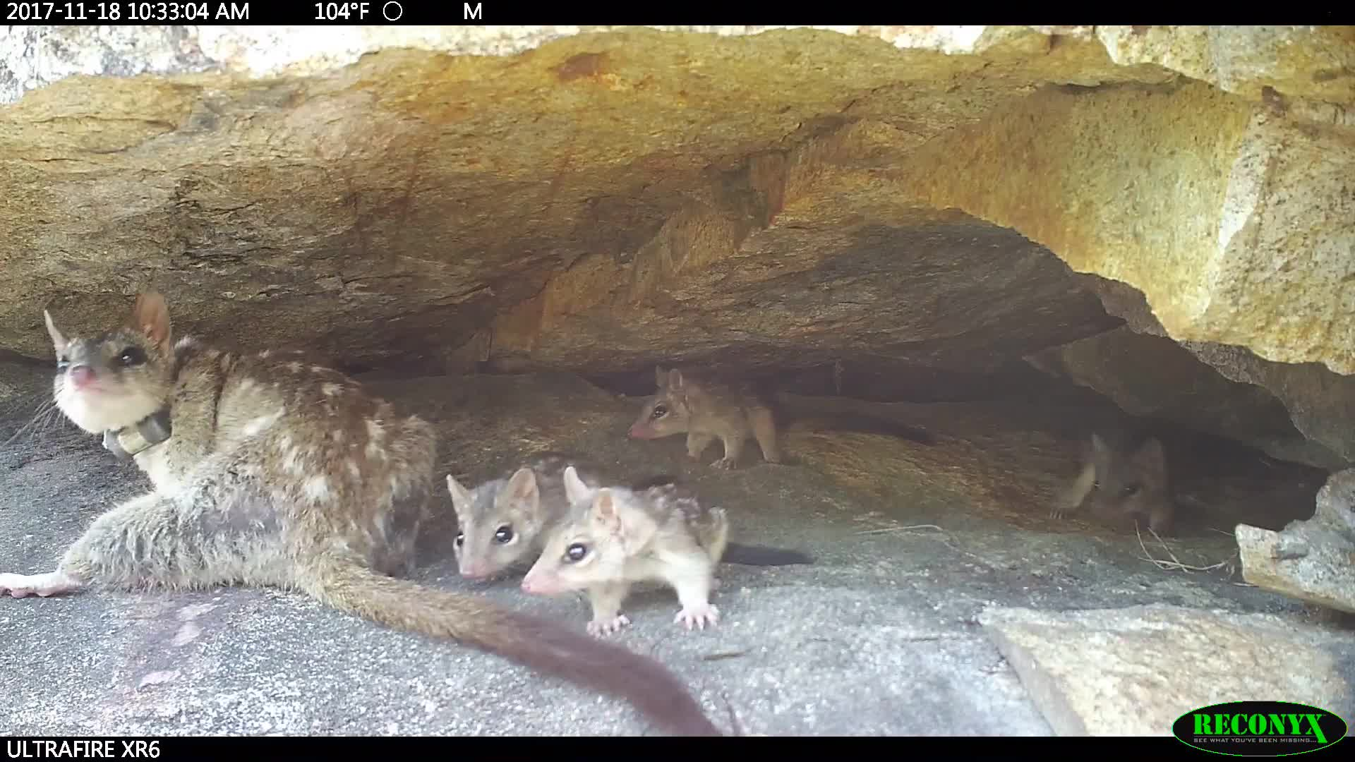 4 Elements Consulting, Science & Technology, 4 Elements Environmental Consulting Cairns - Northern Quoll (Dasyurus hallucatus) den with juveniles GIFs