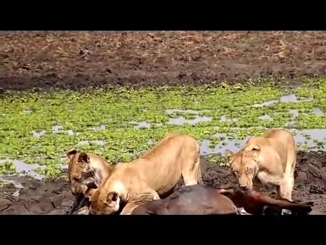 AskReddit, natureismetal, 2 Lions Hold Down Buffalo While 3rd Bites Its Dick Off 🦁🐃 (reddit) GIFs