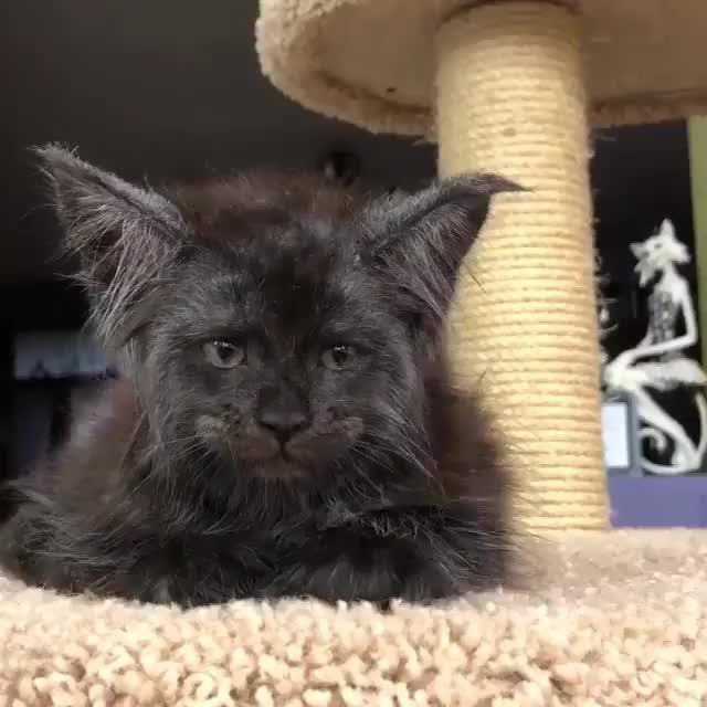 cat, cats, kitten, kittens, Что у кота с лицом?? GIFs