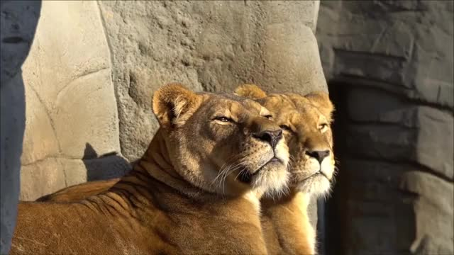 Watch this lion GIF by Diamond Garden (@cleopatra) on Gfycat. Discover more animals, leeuw, lion, lions, löwe, løver, nature, λιοντάρια, лев, природа, أسود, ライオンズ, 狮子 GIFs on Gfycat