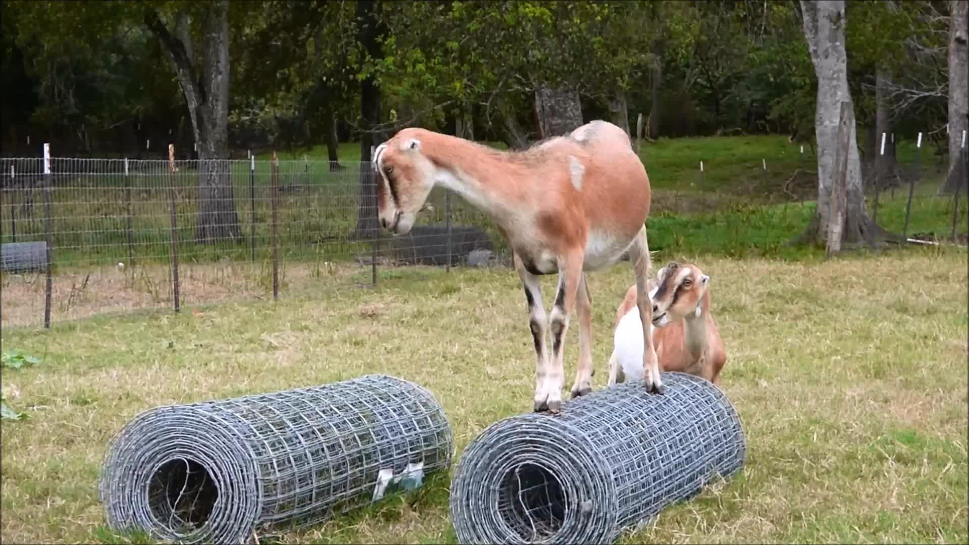 goat, goatparkour, goats, knsfarm, Rolling Fence Roll GIFs
