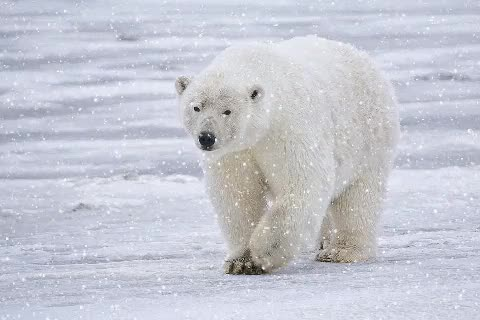 Watch and share Polar Bear Alaska GIFs on Gfycat