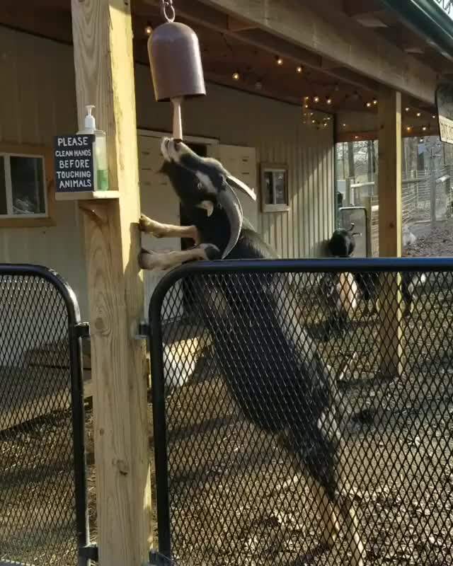Watch and share Ansel Sounds The Dinner Bell At Goats Of Anarchy GIFs by b12ftw on Gfycat