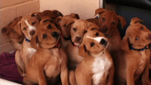 confused, confusion, cute, dog, head, pet, puppies, puppy, side, worried, Confused puppies GIFs