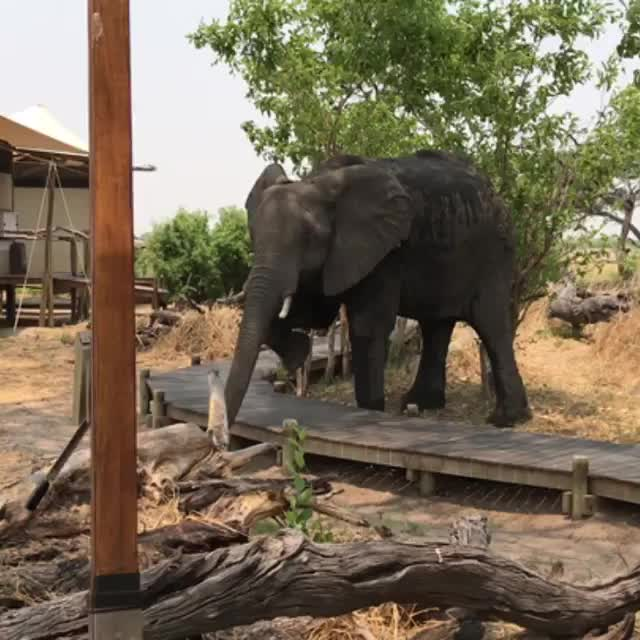elephant, nature, Young bull elephant politely stepping over a walkway at a nature preserve GIFs