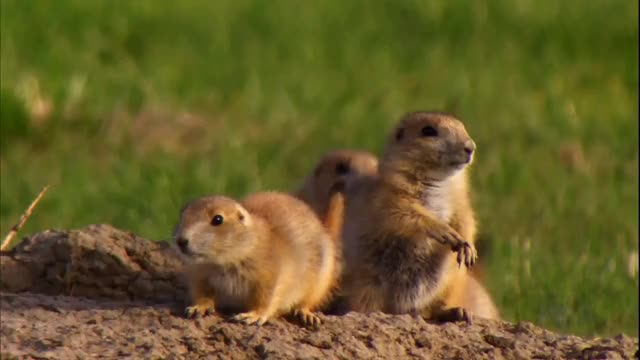 Watch Prairie dogs (reddit) GIF by @siouxsie_sioux on Gfycat. Discover more naturegifs GIFs on Gfycat