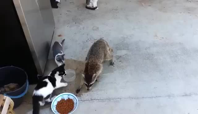 Watch and share Racoon GIFs on Gfycat