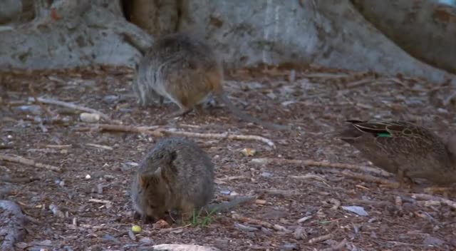 Watch and share Rottnest Island GIFs and Quokka GIFs by likkaon on Gfycat