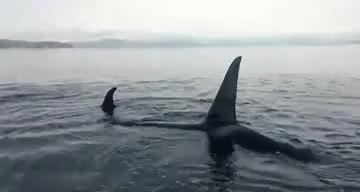 Watch and share Northern Residents GIFs and Killer Whale GIFs on Gfycat