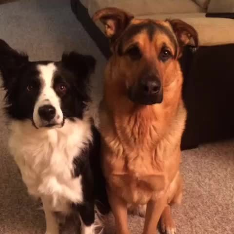 aww, hug, Who's your best friend? #lottiethecollie #grizzlythegsd #hug #love #bestfriend #dogsofvine #dogsonvine #dogoftheday #cute #adorable #love GIFs