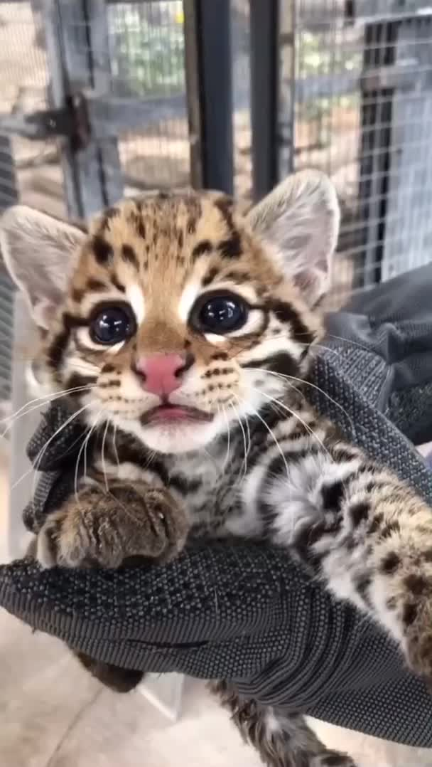 saltyalligators, ocelot kitten at the Cincinnati zoo!! GIFs