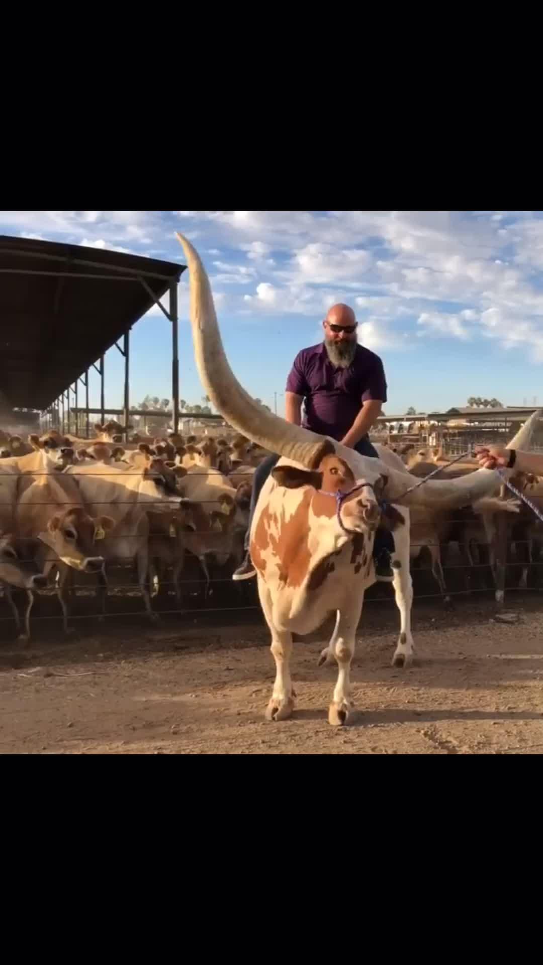 Big horn bull GIFs