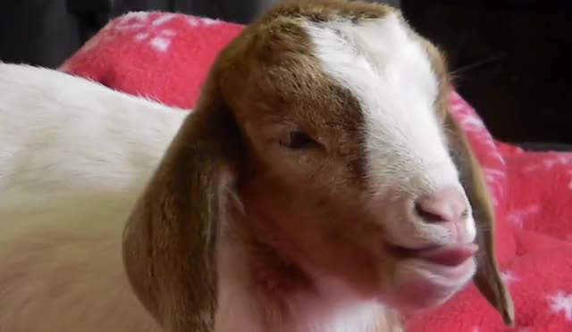 Watch this goat GIF by Reactions (@ioanna) on Gfycat. Discover more animal, animals, awake, bored, boring, cute, exhausted, funny, goat, goats, good, goodnight, morning, night, stay, sweet, tired, tiring, to, try GIFs on Gfycat