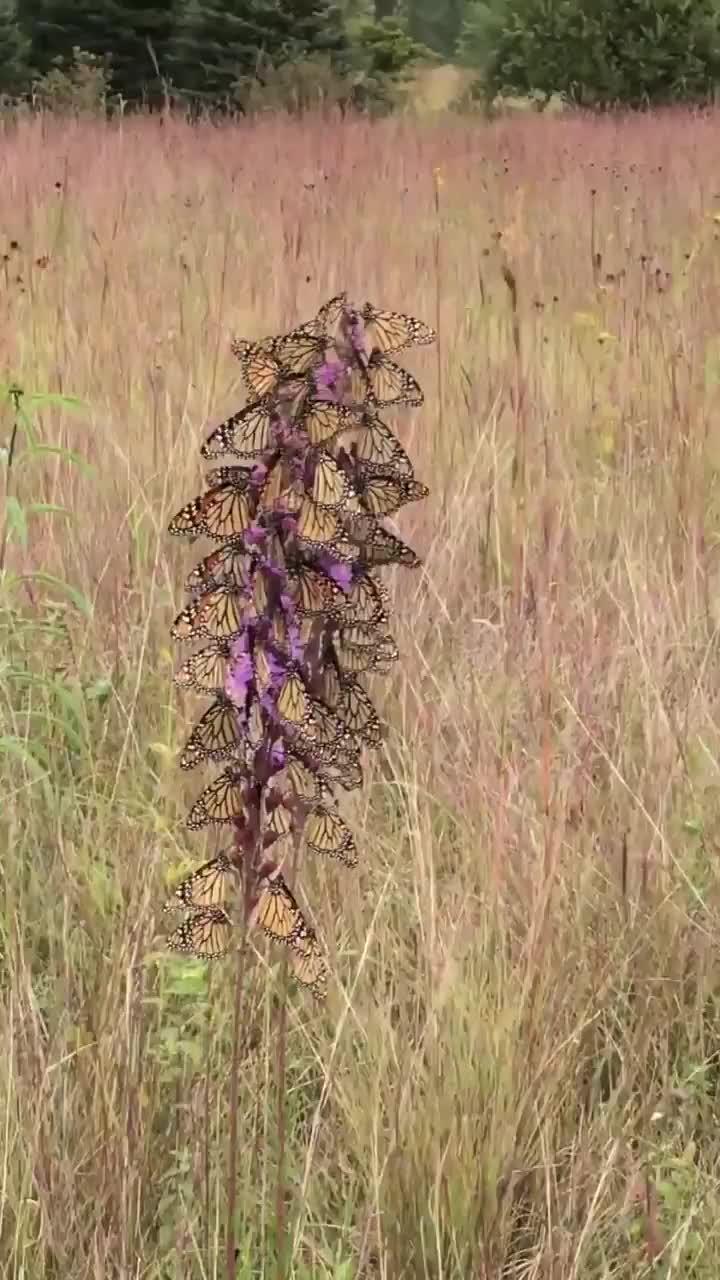 amazing, beautiful, butterflies, butterfly, Butterflies not Flowers GIFs