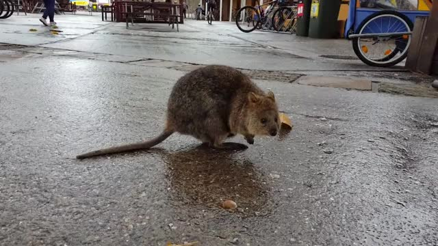 Watch and share Animal GIFs and Quokka GIFs by likkaon on Gfycat