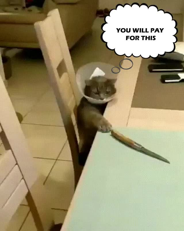 Watch ConeOfShameCatKnife GIF by PM_ME_YOUR_TITS_GIRL (@pmmeyourtitsgirl) on Gfycat. Discover more animaltextgifs, cat, cone of shame GIFs on Gfycat