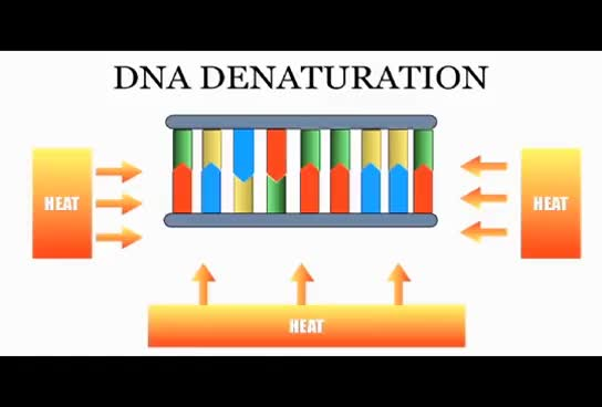 Watch DNA denaturation.from Noor's educational dairy GIF on Gfycat. Discover more related GIFs on Gfycat
