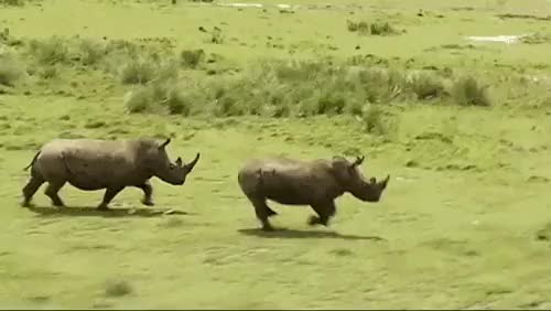 Watch and share Rhinoceros GIFs and Animals GIFs on Gfycat