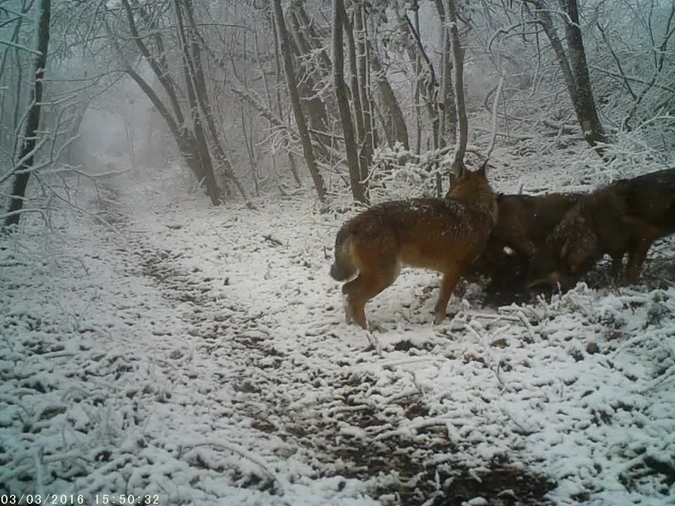 Wolves carrying a Wild Boar deeper into the forest GIFs