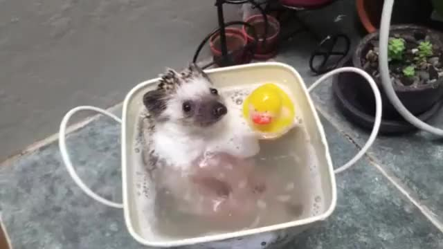 Hedgehog bathtime!