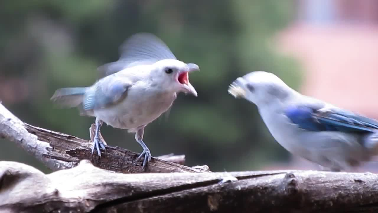 Aves Colombia, Azulejo Común, Blue-Gray Tanager, Thraupis episcopus, ave, aves, azulejo, tanager, tangara, tángara, Azulejo Común, Tángara Azuleja, Blue-Gray Tanager, Thraupis episcopus GIFs
